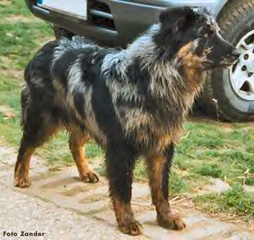 Old German Herding Dogs, Picture Of Array : Las Rocosa Australian Shepherds: Las Rocosa Australian Shepherds